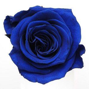 バラ ブルー
